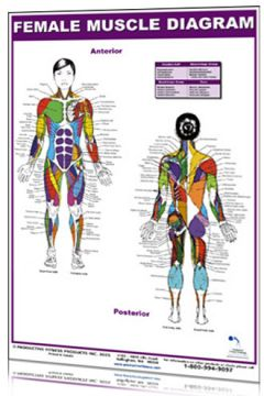 Poster Female Muscle Diagram