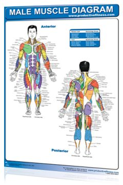 Poster Male Muscle Diagram